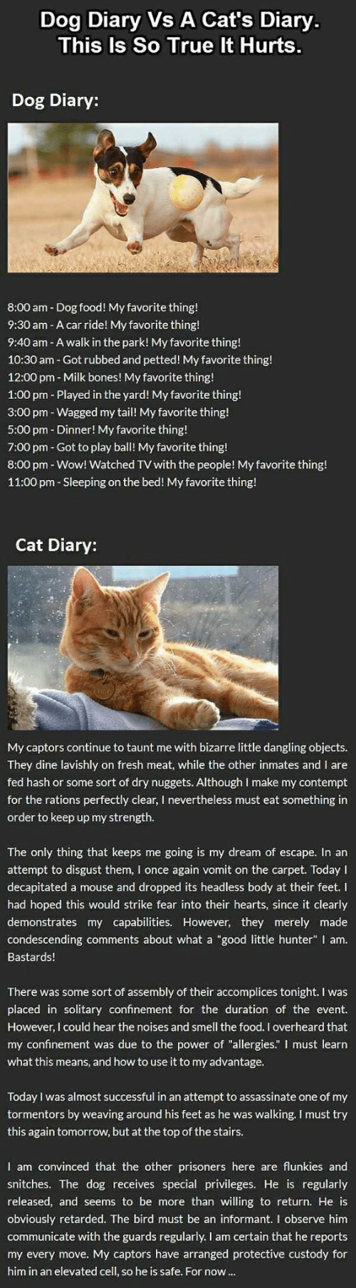 """Bones, Cats, and Food: Dog Diary Vs A Cat's Diary.  This  Is So True It Hurts.  Dog Diary:  8:00 am Dog food! My favorite thing!  9:30 am - A car ride! My favorite thing!  9:40 am - A walk in the park! My favorite thing!  10:30 am - Got rubbed and petted! My favorite thing!  12:00 pm Milk bones! My favorite thing!  1:00 pm - Played in the yard! My favorite thing!  3:00 pm - Wagged my tail! My favorite thing!  5:00 pm - Dinner! My favorite thing!  7:00 pm Got to play ball! My favorite thing!  8:00 pm - Wow! Watched TV with the people! My favorite thing!  11:00 pm- Sleeping on the bed! My favorite thing!  Cat Diary:  My captors continue to taunt me with bizarre little dangling objects.  They dine lavishly on fresh meat, while the other inmates and I are  fed hash or some sort of dry nuggets. Although l make my contempt  for the rations perfectly clear, I nevertheless must eat something in  order to keep up my strength.  The only thing that keeps me going is my dream of escape. In an  attempt to disgust them, I once again vomit on the carpet. Today I  decapitated a mouse and dropped its headless body at their feet. I  had hoped this would strike fear into their hearts, since it clearly  demonstrates my capabilities. However, they merely made  condescending comments about what a """"good little hunter"""" I am.  Bastards!  There was some sort of assembly of their accomplices tonight. I was  placed in solitary confinement for the duration of the event  However, I could hear the noises and smell the food. I overheard that  my confinement was due to the power of """"allergies."""" I must learn  what this means, and how to use it to my advantage.  Today I was almost successful in an attempt to assassinate one of my  tormentors by weaving around his feet as he was walking. I must try  this again tomorrow, but at the top of the stairs.  I am convinced that the other prisoners here are flunkies and  snitches. The dog receives special privileges. He is regularly  released, and seems to be """