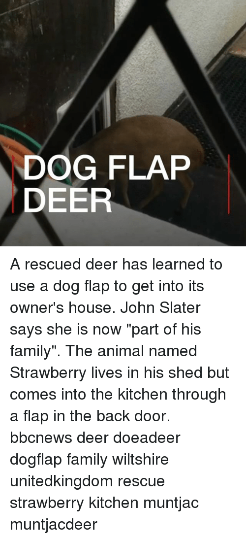 "Deer, Family, and Memes: DOG FLAP  DEER A rescued deer has learned to use a dog flap to get into its owner's house. John Slater says she is now ""part of his family"". The animal named Strawberry lives in his shed but comes into the kitchen through a flap in the back door. bbcnews deer doeadeer dogflap family wiltshire unitedkingdom rescue strawberry kitchen muntjac muntjacdeer"