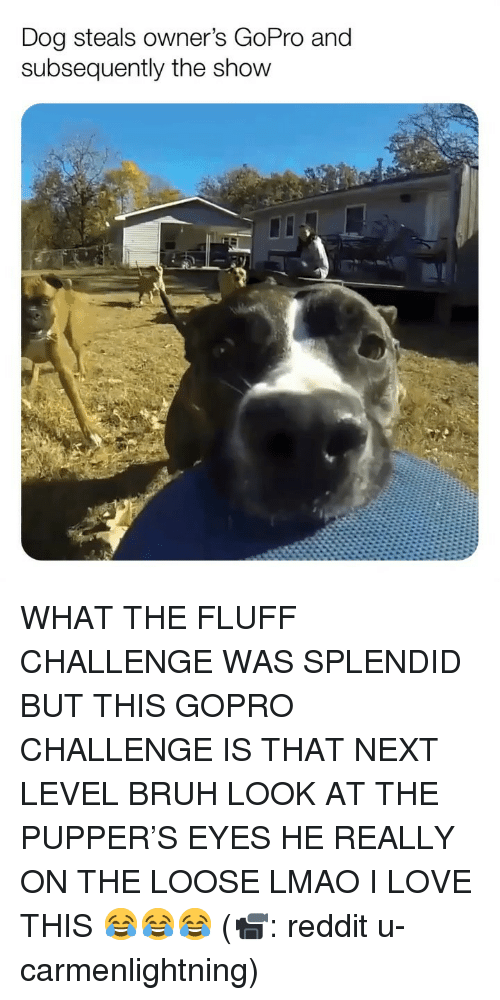 Bruh, Lmao, and Love: Dog steals owner's GoPro and  subsequently the show WHAT THE FLUFF CHALLENGE WAS SPLENDID BUT THIS GOPRO CHALLENGE IS THAT NEXT LEVEL BRUH LOOK AT THE PUPPER'S EYES HE REALLY ON THE LOOSE LMAO I LOVE THIS 😂😂😂 (📹: reddit u-carmenlightning)