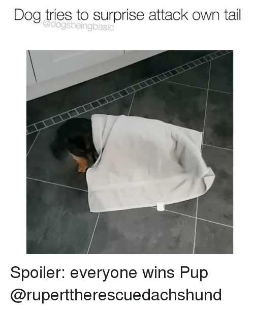 Memes, Pup, and 🤖: Dog tries to surprise attack own tail  @dogsbeingbasio Spoiler: everyone wins Pup @ruperttherescuedachshund