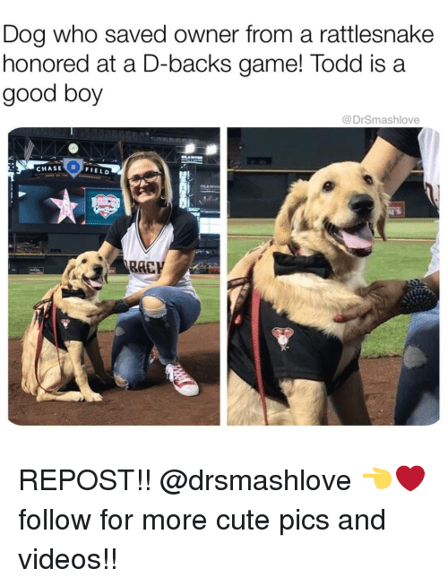 Cute, Memes, and Videos: Dog who saved owner from a rattlesnake  honored at a D-backs game! Todd is a  good boy  @ DrSmashlove  CHASE  FIELD  RAC REPOST!! @drsmashlove 👈❤ follow for more cute pics and videos!!