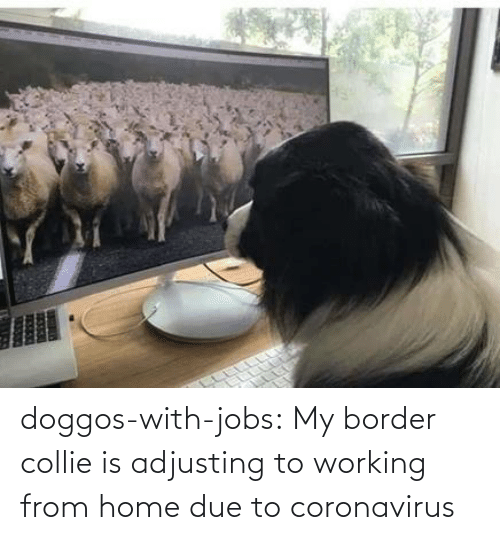 Due To: doggos-with-jobs:  My border collie is adjusting to working from home due to coronavirus