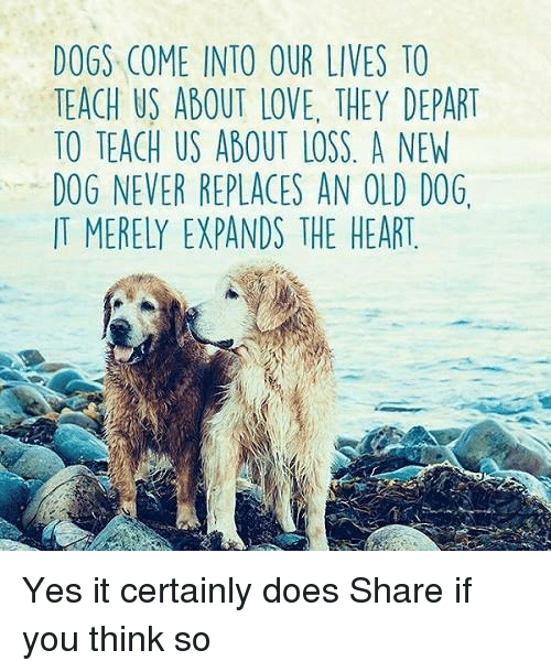 Dogs, Love, and Memes: DOGS COME INTO OUR LIVES TO  TEACH US ABOUT LOVE. THEY DEPART  TO TEACH US ABOUT LOSS A NEW  DOG NEVER REPLACES AN OLD DOG.  IT MERELY EXPANDS THE HEART Yes it certainly does Share if you think so