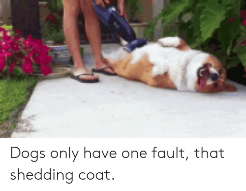Dogs, One, and Shedding: Dogs only have one fault, that shedding coat.