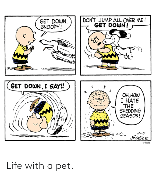 Snoopy: DONT JUMP ALL OVER ME!  GET DOWN  SNOOPY!  GET DOWN!  GET DOWN.I SAY!!  OH,HOW  I HATE  THE  SHEDDING  SEASON!  PNTS Life with a pet.