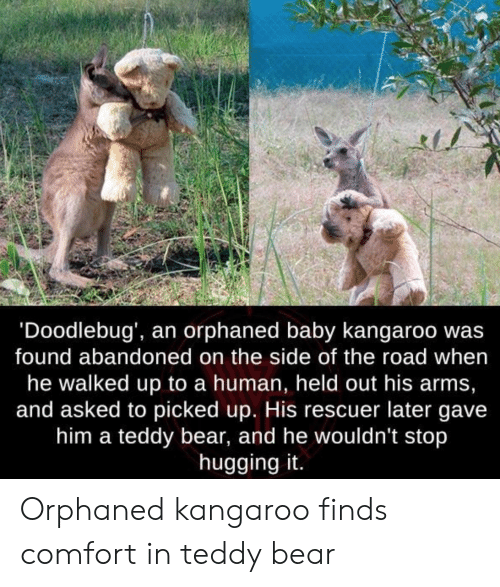kangaroo: 'Doodlebug', an orphaned baby kangaroo wa:s  found abandoned on the side of the road when  he walked up to a human, held out his arms,  and asked to picked up. His rescuer later gave  him a teddy bear, and he wouldn't stop  hugging it. Orphaned kangaroo finds comfort in teddy bear