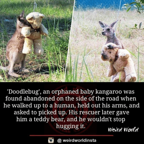 kangaroo: 'Doodlebug', an orphaned baby kangaroo was  found abandoned on the side of the road when  he walked up to a human, held out his arms, and  asked to picked up. His rescuer later gave  him a teddy bear, and he wouldn't stop  hugging it.  Weird World  a weirdworldinsta