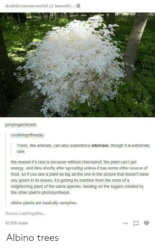 doubtful: doubtful-extraterrestrial baenedic...  jumpingjacktrash  coolthingoftheday:  Trees, like animals, can also experience albinism, though it is extremely  rare  the reason it's rare is because without chlorophyll, the plant can't get  energy, and dies shortly after sprouting unless it has some other source of  food, so if you see a plant as big as the one in the picture that doesn't have  any green in its leaves, it's getting its nutrition from the roots of a  neighboring plant of the same species, feeding on the sugars created by  the other plant's photosynthesis.  albino plants are basically vampires.  Source: coolthingofthe.  67,076 notes Albino trees