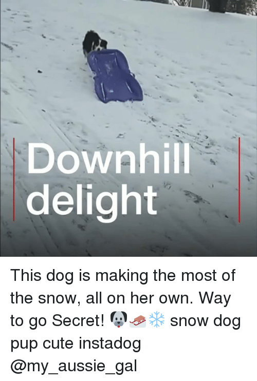 Cute, Memes, and Snow: Downhill  delight This dog is making the most of the snow, all on her own. Way to go Secret! 🐶🛷❄️ snow dog pup cute instadog @my_aussie_gal