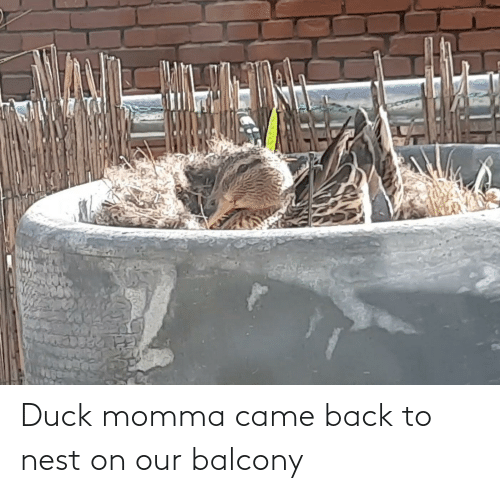 Nest: Duck momma came back to nest on our balcony