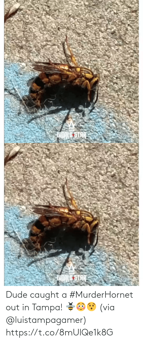 Caught: Dude caught a #MurderHornet out in Tampa! 🐝😳😯 (via @luistampagamer) https://t.co/8mUlQe1k8G