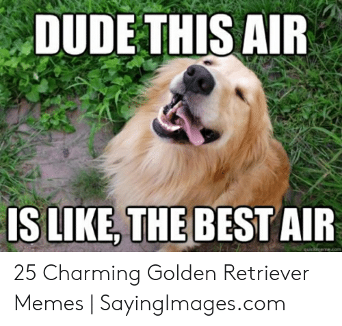 Dude, Memes, and Best: DUDE THIS AIR  IS LIKE,THE BEST AIR 25 Charming Golden Retriever Memes   SayingImages.com