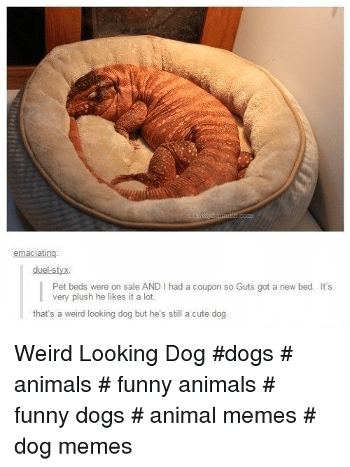 Funny animals: duel-styx  Pet beds were on sale AND I had a coupon so Guts got a new bed. It's  very plush he likes it a lot.  that's a weird looking dog but he's still a cute dog Weird Looking Dog  #dogs # animals # funny animals # funny dogs # animal memes # dog memes