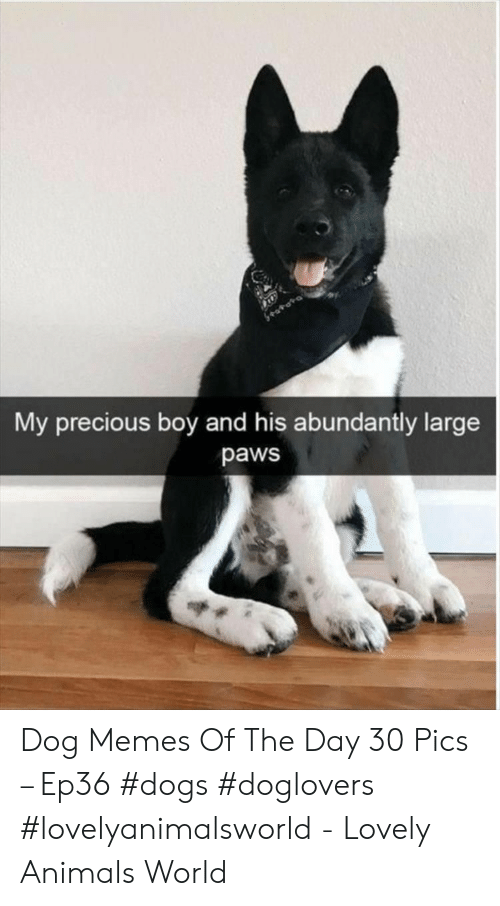 Animals, Dogs, and Memes: e.  My precious boy and his abundantly large  paws Dog Memes Of The Day 30 Pics – Ep36 #dogs #doglovers #lovelyanimalsworld - Lovely Animals World