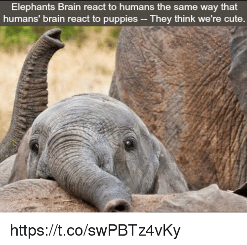 Cute, Memes, and Puppies: Elephants Brain react to humans the same way that  humans brain react to puppies -- They think we're cute. https://t.co/swPBTz4vKy