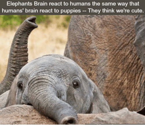 Cute, Puppies, and Brain: Elephants Brain react to humans the same way that  humans' brain react to puppies They think we're cute.