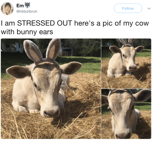 Cow, Bunny, and Pic: Em  @hilduhbruh  Follow  I am STRESSED OUT here's a pic of my cow  with bunny ears