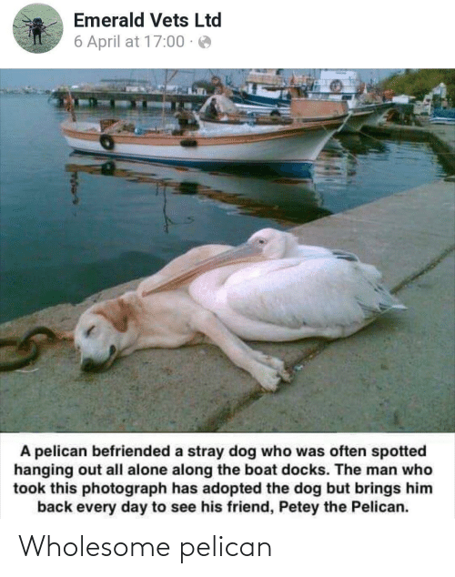 the man: Emerald Vets Ltd  6 April at 17:00 · e  A pelican befriended a stray dog who was often spotted  hanging out all alone along the boat docks. The man who  took this photograph has adopted the dog but brings him  back every day to see his friend, Petey the Pelican. Wholesome pelican