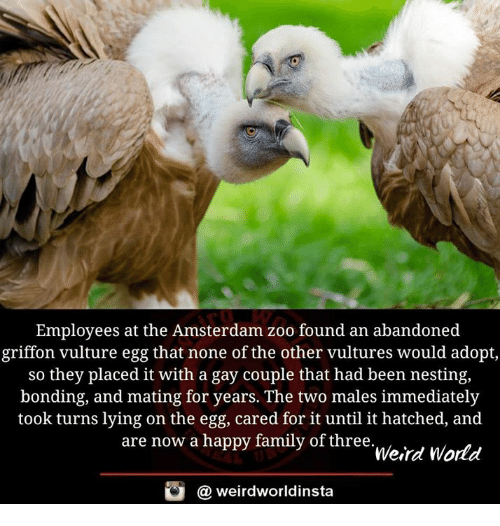 griffon: Employees at the Amsterdam zoo found an abandoned  griffon vulture egg that none of the other vultures would adopt  so they placed it with a gay couple that had been nesting,  bonding, and mating for years. The two males immediately  took turns lying on the egg, cared for it until it hatched, and  are now a happy family of three  Weird World  @ weirdworldinsta