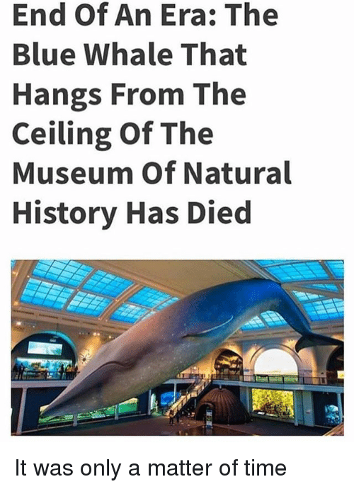 Blue, History, and Time: End Of An Era: The  Blue Whale That  Hangs From The  Ceiling Of The  Museum Of Natural  History Has Died It was only a matter of time