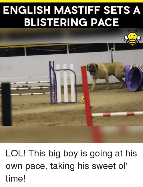 Lol, Memes, and Time: ENGLISH MASTIFF SETS A  BLISTERING PACE LOL! This big boy is going at his own pace, taking his sweet ol' time!