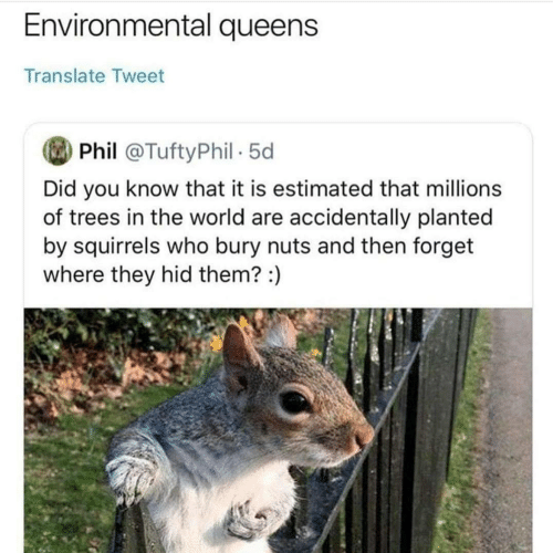 Environmental: Environmental queens  Translate Tweet  Phil @TuftyPhil 5d  Did you know that it is estimated that millions  of trees in the world are accidentally planted  by squirrels who bury nuts and then forget  where they hid them? :)