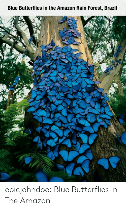 Blue: epicjohndoe:  Blue Butterflies In The Amazon