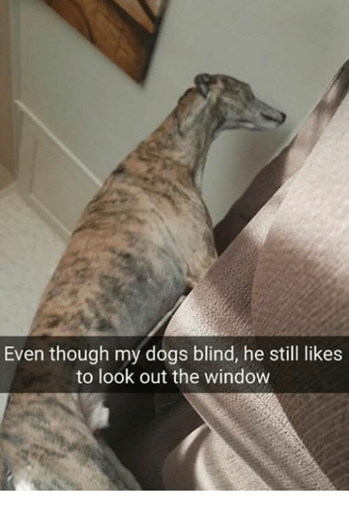 Dogs, Window, and Still: Even though my dogs blind, he still likes  to look out the window
