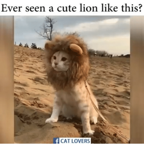 cat lover: Ever seen a cute lion like this?  f CAT LOVERS