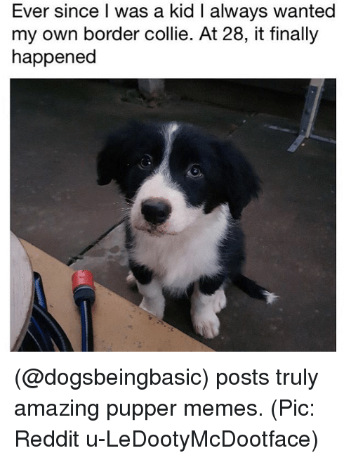 Memes, Reddit, and Border Collie: Ever since I was a kid I always wanted  my own border collie. At 28, it finally  happened (@dogsbeingbasic) posts truly amazing pupper memes. (Pic: Reddit u-LeDootyMcDootface)