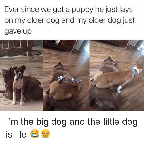 big dog: Ever since we got a puppy he just lays  on my older dog and my older dog just  gave up I'm the big dog and the little dog is life 😂😭