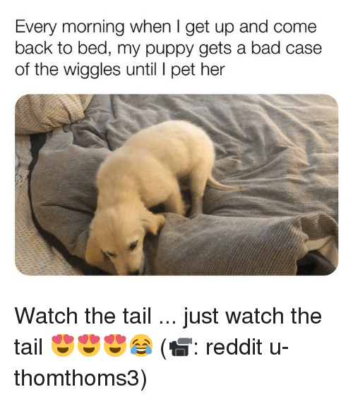 the wiggles: Every morning when I get up and come  back to bed, my puppy gets a bad case  of the wiggles until pet her Watch the tail ... just watch the tail 😍😍😍😂 (📹: reddit u-thomthoms3)