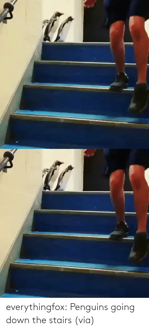 Penguins: everythingfox:   Penguins going down the stairs (via)