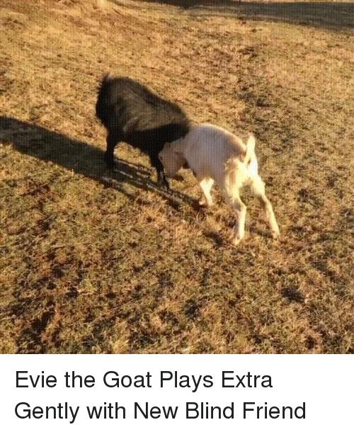 Special Needs: Evie the Goat Plays Extra Gently with New Blind Friend