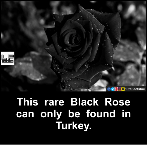 black rose: f GOOD LifeFactslnc  This rare Black Rose  can only be found in  Turkey.