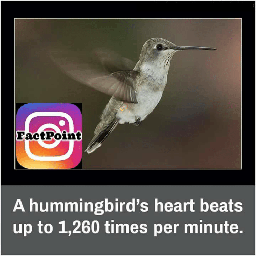 Hummingbirds: Fact Point  A hummingbird's heart beats  up to 1,260 times per minute.