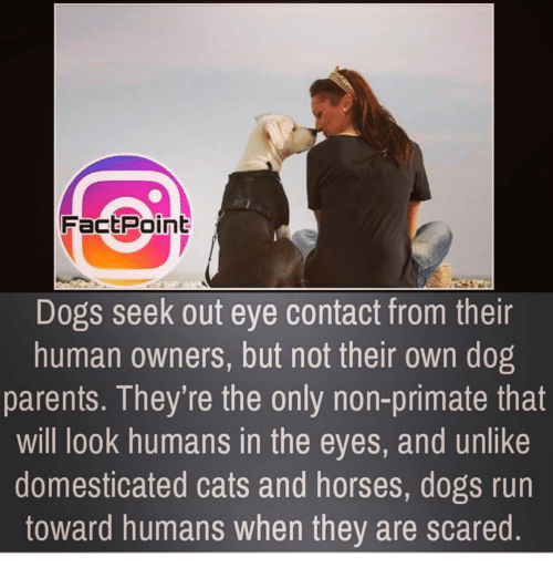 Primatism: Fact Point  Dogs seek out eye contact from their  human owners, but not their 0wn dog  parents. They're the only non-primate that  will look humans in the eyes, and unlike  domesticated cats and horses, dogs run  toward humans when they are scared.