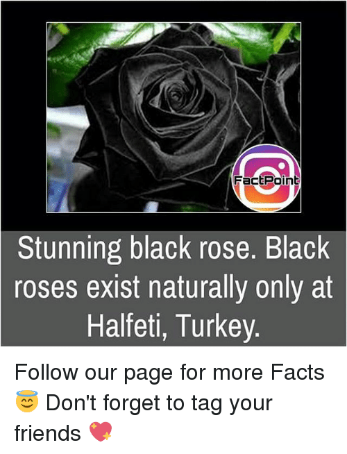 black rose: Fact Point  Stunning black rose. Black  roses exist naturally only at  Halfeti, Turkey. Follow our page for more Facts 😇 Don't forget to tag your friends 💖