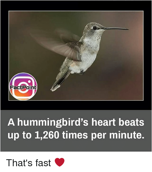 Hummingbirds: FactPoint  A hummingbird's heart beats  up to 1,260 times per minute. That's fast ❤
