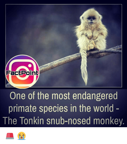 Primatism: FactPoint  One of the most endangered  primate species in the world  The Tonkin snub-nosed monkey 🚨 😭