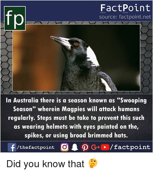 "Fake, Memes, and Australia: FactPoint  source: factpoint.net  In Australia there is a season known as ""Swooping  Season"" wherein Magpies will attack humans  regularly. Sfeps must be fake to prevenf this such  as wearing helmets wifh eyes painted on the  spikes, or using broad brimmed hats.  f  /thefactpoint C  AO G+  / factpoint Did you know that 🤔"