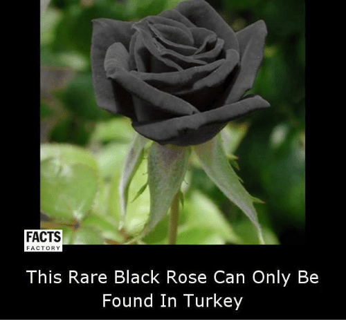 black rose: FACTS  FACTORY  This Rare Black Rose Can Only Be  Found In Turkey