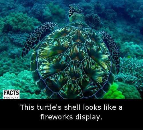 Turtling: FACTS  FACTORY  This turtle's shell looks like a  fireworks display.
