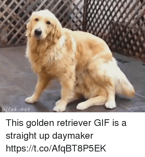 Funny, Gif, and Golden Retriever: fak-net This golden retriever GIF is a straight up daymaker https://t.co/AfqBT8P5EK