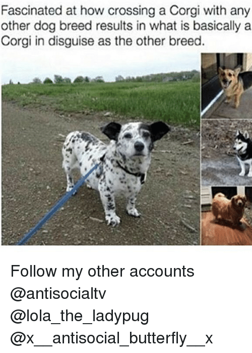 corgy: Fascinated at how crossing a Corgi with any  other dog breed results in what is basically a  Corgi in disguise as the other breed. Follow my other accounts @antisocialtv @lola_the_ladypug @x__antisocial_butterfly__x
