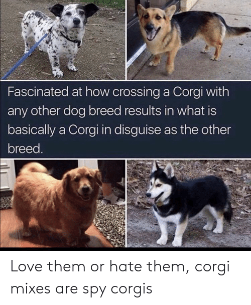Corgis: Fascinated at how crossing a Corgi with  any other dog breed results in what is  basically a Corgi in disguise as the other  breed. Love them or hate them, corgi mixes are spy corgis