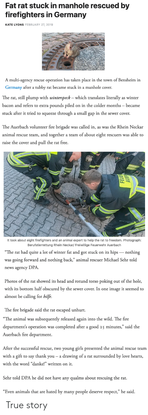 """plump: Fat rat stuck in manhole rescued by  firefighters in Germany  KATE LYONS FEBRUARY 27, 2019  A multi-agency rescue operation has taken place in the town of Bensheim in  Germany after a tubby rat became stuck in a manhole cover.   The rat, still plump with winterspeck - which translates literally as winter  bacon and refers to extra pounds piled on in the colder months became  stuck after it tried to squeeze through a small gap in the sewer cover.  The Auerbach volunteer fire brigade was called in, as was the Rhein Neckar  animal rescue team, and together a team of about eight rescuers was able to  raise the cover and pull the rat free.   It took about eight firefighters and an animal expert to help the rat to freedom. Photograph:  Berufstierrettung Rhein Neckar/ Freiwillige Feuerwehr Auerbach   The  rat  had  quite  a  lot  of  winter  fat  and  got  stuck  on  its  hips  _nothing  was going forward and nothing back,"""" animal rescuer Michael Sehr told  news agency DPA  Photos of the rat showed its head and rotund torso poking out of the hole,  with its bottom half obscured by the sewer cover. In one image it seemed to  almost be calling for hilfe.  The fire brigade said the rat escaped unhurt.   """"The animal was subsequently released again into the wild. The fire  department's operation was completed after a good 25 minutes,"""" said the  Auerbach fire department.  After the successful rescue, two young girls presented the animal rescue teanm  with a gift to say thank you- a drawing of a rat surrounded by love hearts  with the word """"danke!"""" written on it.  Sehr told DPA he did not have any qualms about rescuing the rat.  """"Even animals that are hated by many people deserve respect,"""" he said. True story"""