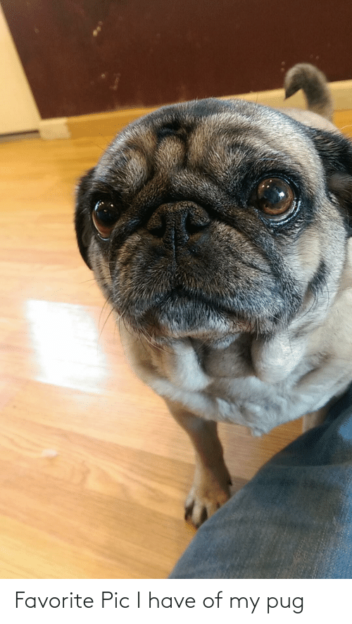Aww Memes: Favorite Pic I have of my pug