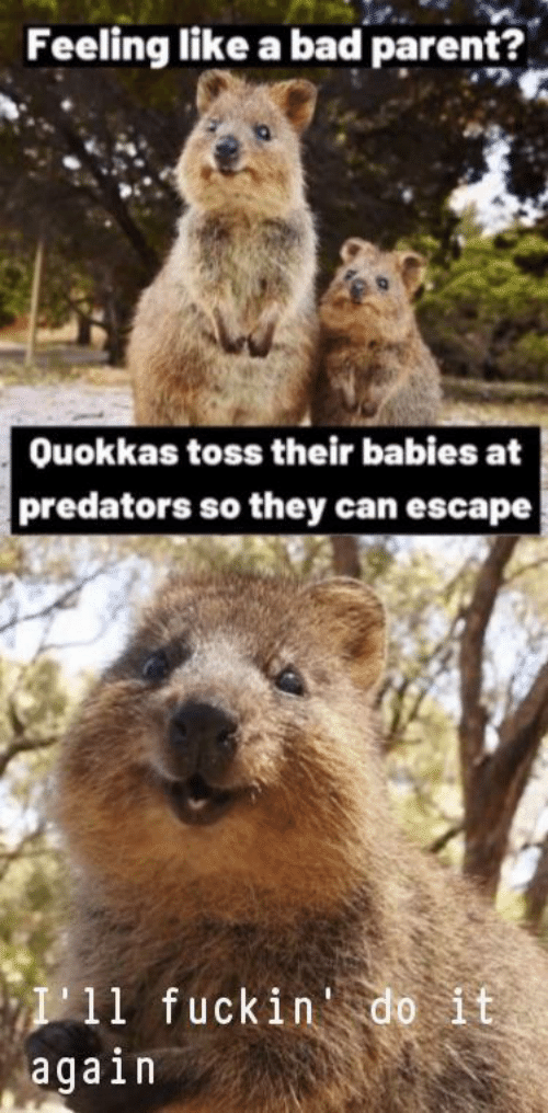 Bad, Predators, and Can: Feeling like a bad parent?  Ouokkas toss their babies at  predators so they can escape  P11 fuckin'do it  again