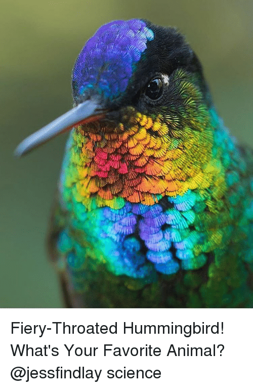 Hummingbirds: Fiery-Throated Hummingbird! What's Your Favorite Animal? @jessfindlay science